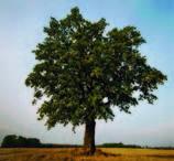 Meditare sotto un albero_Castagno