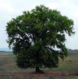 Meditare sotto un albero_Quercia
