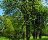 Meditare sotto un albero_Tiglio